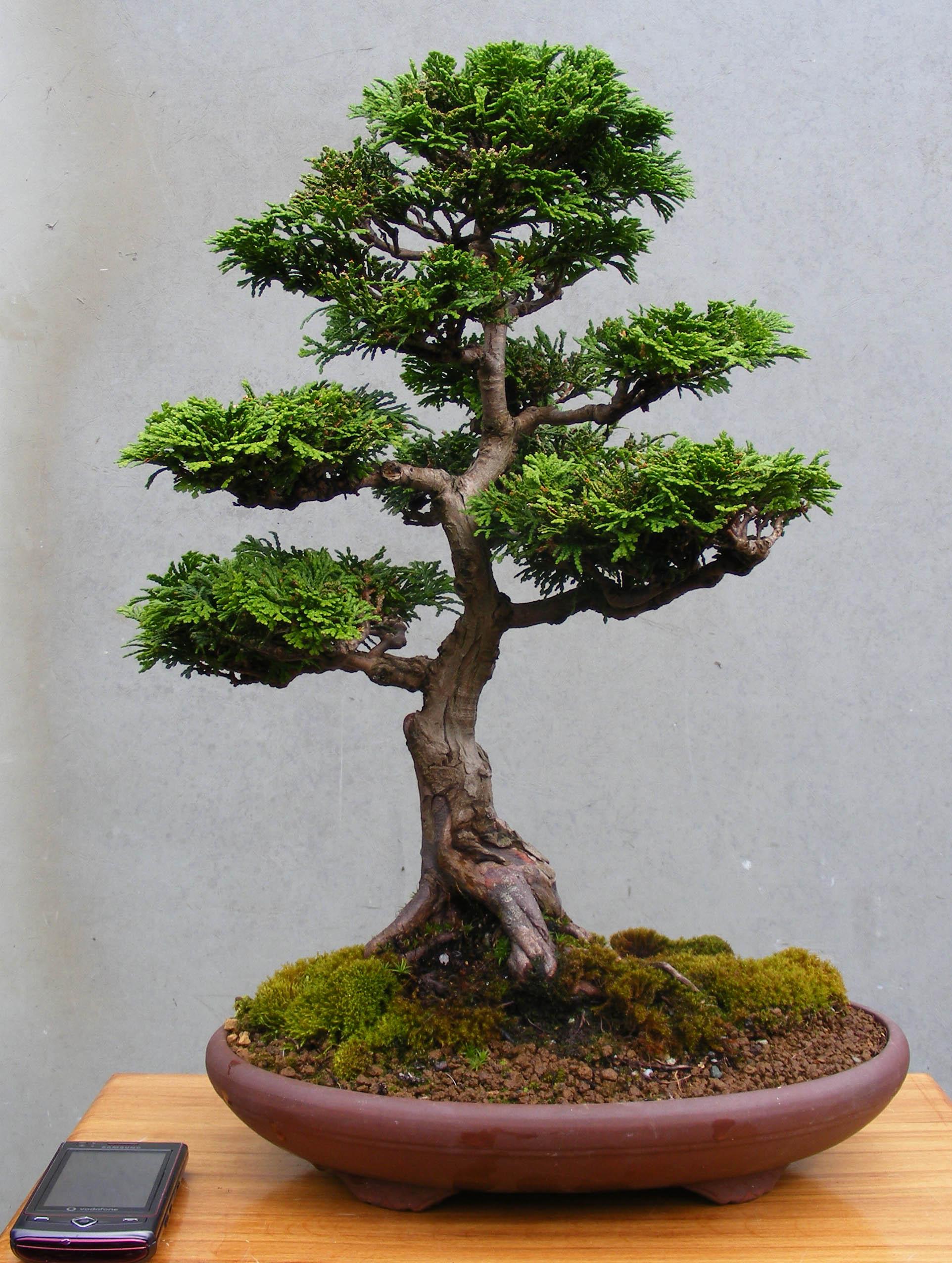 Italian cypress bonsai the image kid for Bonsai italia