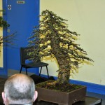 Hugh's Larch on display