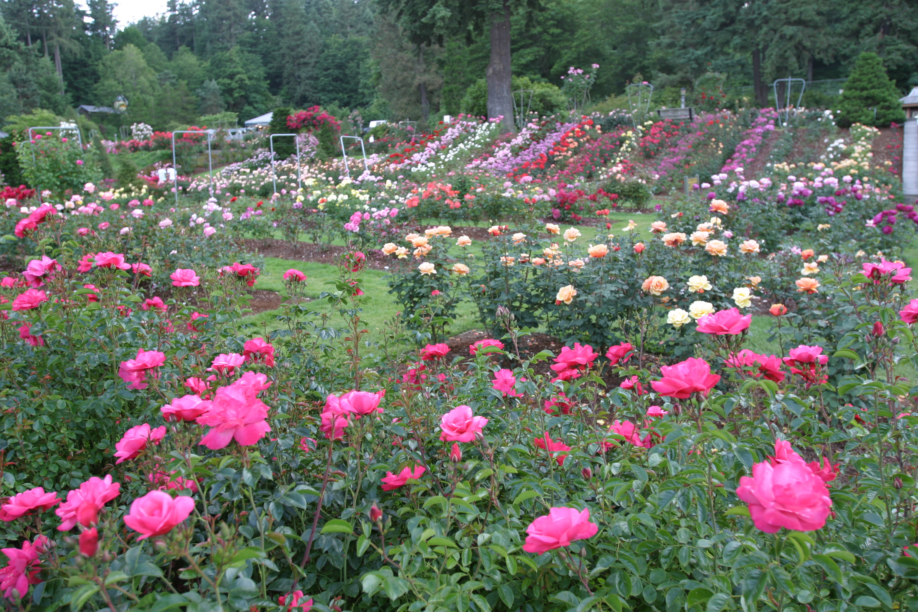Rose Show This Weekend