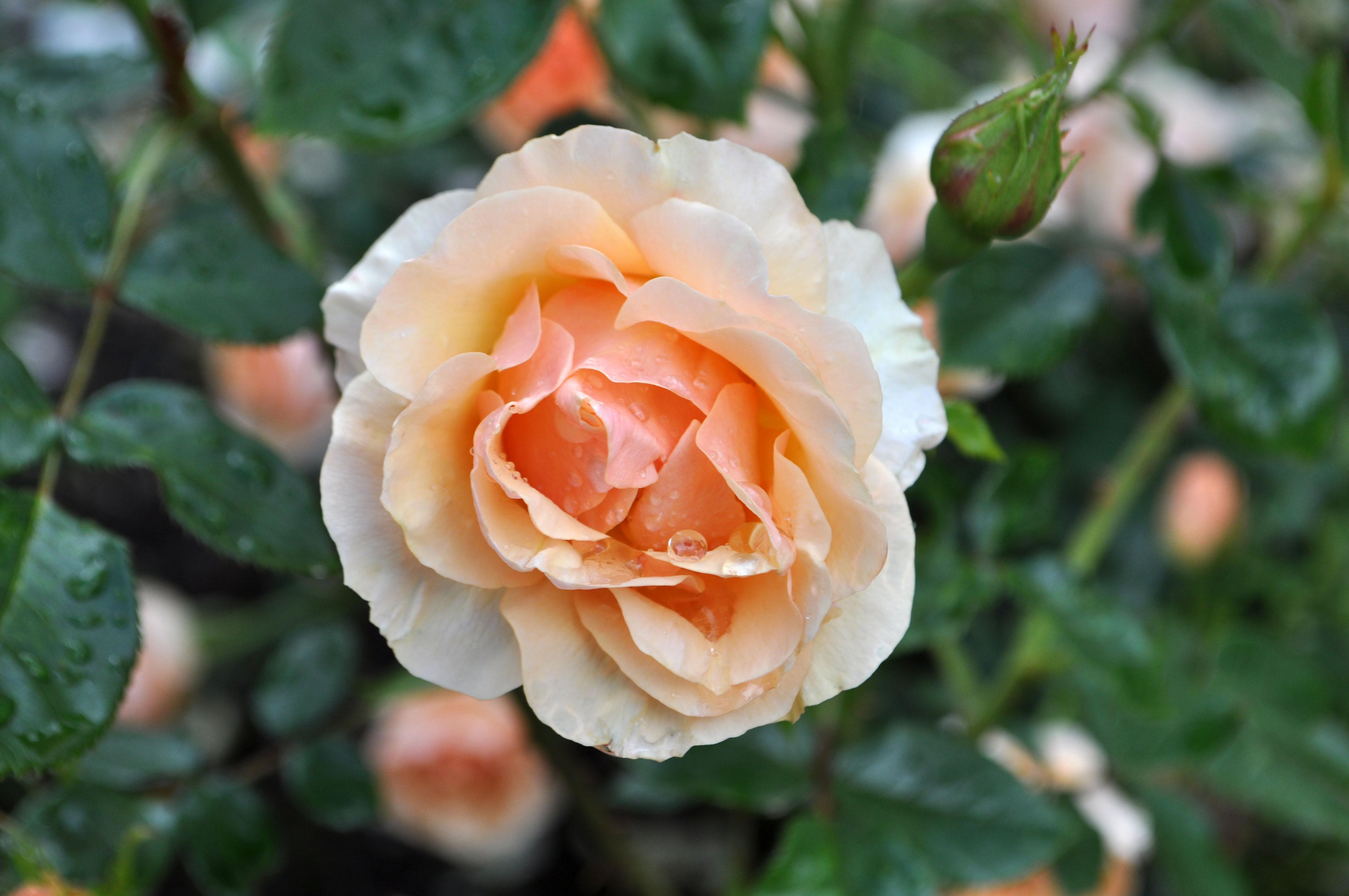 Stunning roses