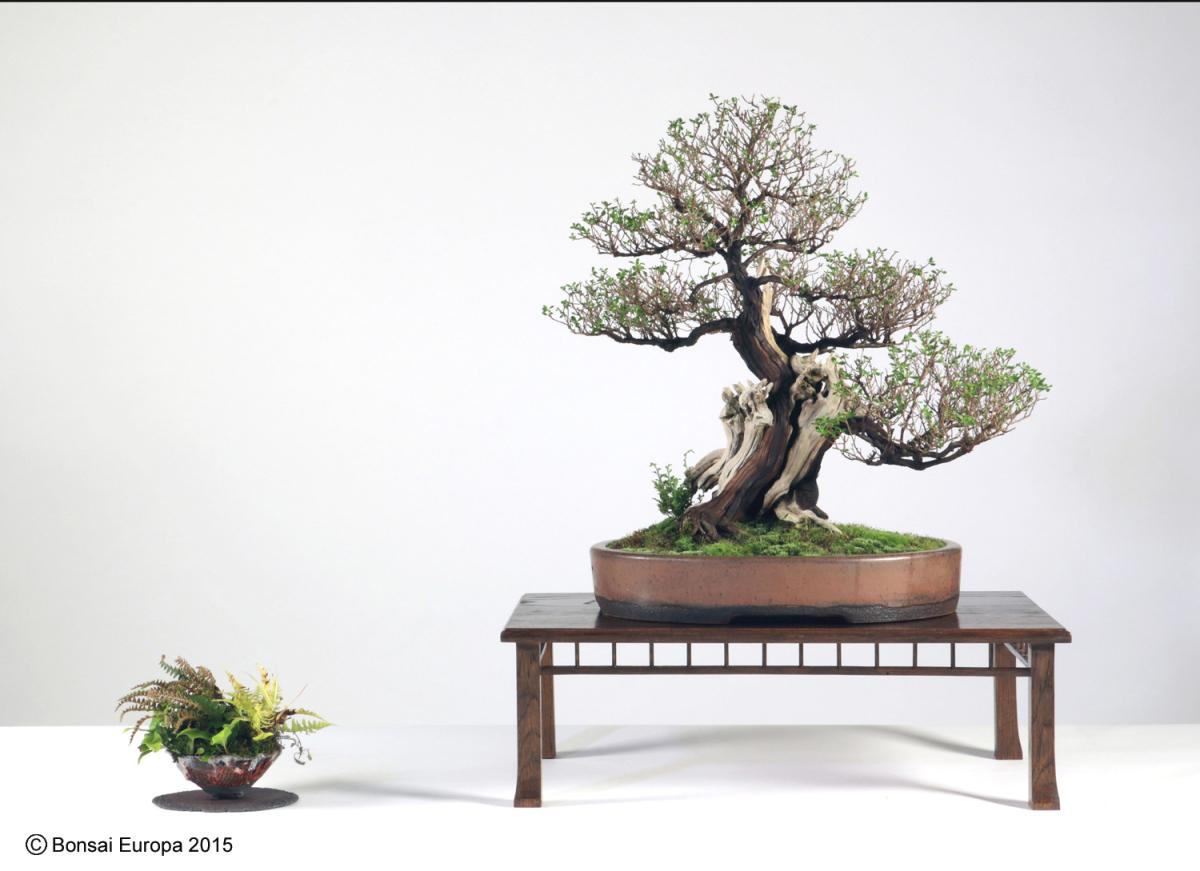bonsai-tree-49